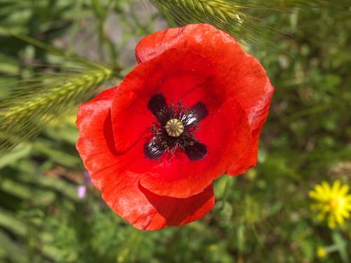 高原上火紅的花朵