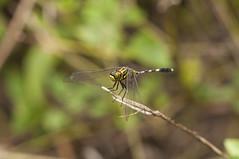 Green-eye Dragonfly (Ringgo Gomez) Tags: 1001nights macroextreme macrolicious flickrsbest worldbest nikond90 flickraward malaysianphotographers elitephotography macromarvels perfectphotographer sarawakborneo nikond90club 1001nightsmagiccity flickraward5 mygearandme flickrawardgallery