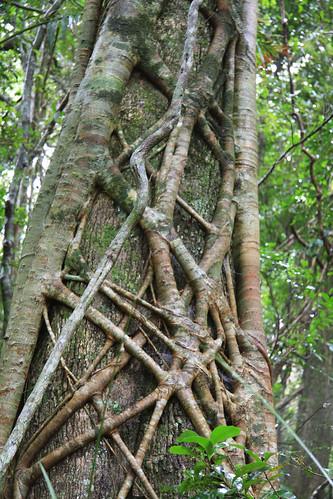 Strangler Roots