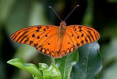 Natureza (Pedro Cavalcante) Tags: butterfly fuji papillon borboleta finepix fujifilm mariposa farfalla sommerfugl schmetterling vlinder    supershot 6500 s6500 s6500fd anawesomeshot impressedbeauty finepixs6500 finepix6500 pedrocavalcante