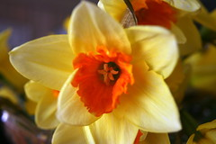 Closeup shot of a Daffodil