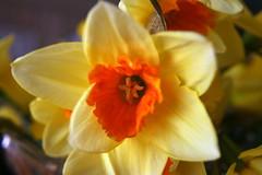 Closeup shot of a Daffodil