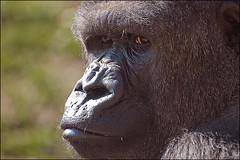 Gorilla's Eyes