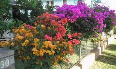 Bougainvillea in three colors, Dole Street, Honolulu (Joel Abroad) Tags: flowers hawaii bougainvillea honolulu moiliili