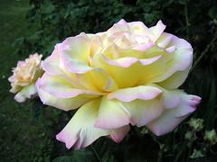 Morning beauty (FlowerXP) Tags: roses fineartphotos masterphotos allflowers excellentphotographerawards brillianteyejewel 4mazingorgeoushotsoflowers multimegashot envyenviedphotosonflickr publishmyflowers
