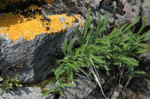 Yarrow and lichen