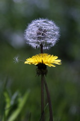 dandelions and a stray floater
