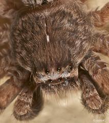 """Nice Puppy ......"" (radio4) Tags: spider australia melbourne macrography specanimal neosparassus buzznbugz goldstaraward excapturemacro badgehuntsman"