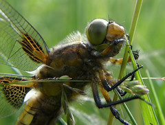 Dragonfly up close (Megashorts) Tags: uk macro bug insect dragonfly buckinghamshire creepy explore milton keynes broad crawly chaser tattenhoe mkf bodied cotcmostinteresting mkftattenhoe mkfexplore vosplusbellesphotos goldenvisions