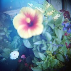 * (miu37) Tags: blue flower 120 june mediumformat tokyo holga toycamera diana portra400nc vignetting  66