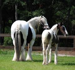 (The Pelton Vanners Gypsy Vanner Horses) Tags: gypsyhorse gypsycob gyspyvanner