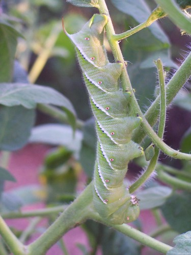 caterpillar munching away at the tomato leaves, 6/24