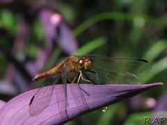 Libélula - Dragonfly (R@P = RAPALON (New Logo)) Tags: naturaleza macro nature argentina closeup bug insect buenosaires dragonfly libelula insecto anisoptera caba naturephotographs givemeratings buzzandbugz★ macroisbeautiful ·flickrestrellas