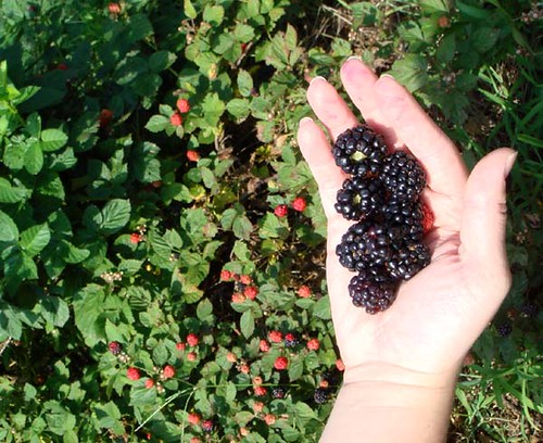 Blackberries5