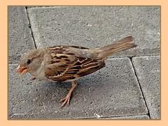 Spatz beim Frühstück - sparrow at breakfast