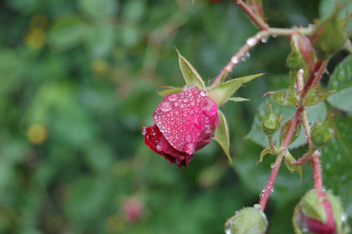 Maroon Rose in the Rain