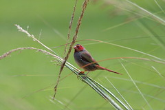 Crimson Finch (Swenglishnick & Zimgirl) Tags: bird australia finch crimsonfinch neochmiaphaeton nnworldtrip