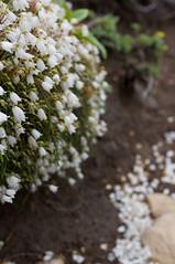 イワヒゲの花が零れ落ちる