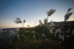 Cottongrass at golden hour (I'm Flickring) Tags: blue sunset grass norway norge gress westcoast hordaland solnedgang myr sund sigma1020mm 10mm cottongrass myrull vestkysten d80 golten eriophorumscheuchzeri nikond80 snull whitecottongrass golta
