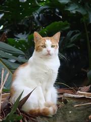 Iao Valley Guard Cat (rosewood*cottage) Tags: hawaii maui iaoneedle iaovalleystatepark kittyschoice catmoments catnipaddicts