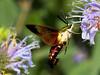 Hummingbird Moth (Uncle Phooey) Tags: flower macro nature rural scenic mo explore missouri iridescent ozarks iridescence hummingbirdmoth naturesfinest clearwing specnature vosplusbellesphotos unclephooey feedingmoth