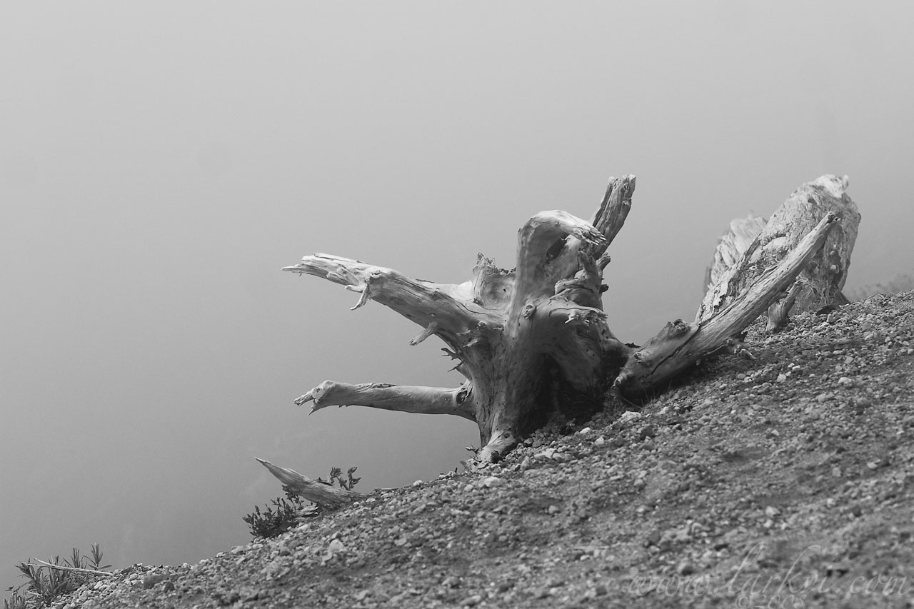 Stump, Mt. St. Helens, Washington State, July 2007
