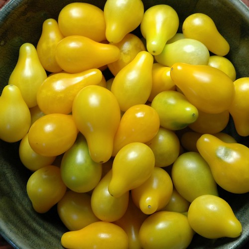 Yellow Pear Tomatoes 012