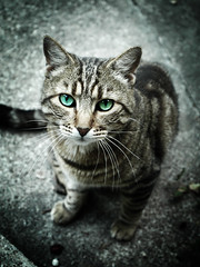 Jade le chat (Jerome Mercier) Tags: street leica blue green animal cat eyes chat vert yeux bleu jade rue leicadigilux3 jeromemercier jeromemercierphoto jmbook bookjm
