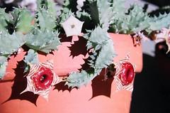 Huernia zebrina (alkdjfsa) Tags: succulent stapelia huernia zebrina asclepiad huerniazebrina stapeliad succulentasclepiad