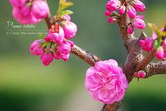 2008_03310016 (chinaphila) Tags: flower flora prunus cerasus rosaceae