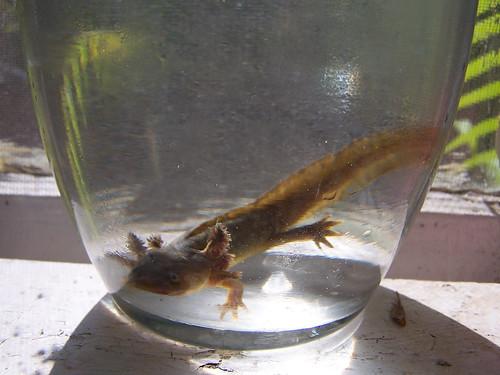 California+tiger+salamander+larvae