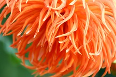 Orange Dahlia (PHOTOPHOB) Tags: pink dahlia flowers autumn red summer orange plants plant flores flower color macro rot nature fleur beautiful beauty sex fleurs germany garden petals spring colorful flickr estate autum stuttgart blossom sommer herbst natur flor pflanze pflanzen blumen zomer verano bloom otoo blomma vero dalie t blume fiore blomst asteraceae outono dahlias dalia frhling bloem jesie floro kwiat killesberg dahlie lato lto sonbahar dahlien kvt blomman efterr blomsten flowerotica bej dalio aplusphoto colourartaward photophob awesomeblossoms