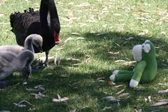 Walk along the Torrens (Lea Barnes) Tags: swans cygnets