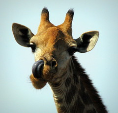 Can You Do This? (Sandra Leidholdt) Tags: africa wild nature animal tongue southafrica tiere funny humorous african wildlife explore giraffe behavior za krugernationalpark kruger girafe knp  afriquedusud zuidafrika explored sandraleidholdt ossicones giraffecamelopardalis leidholdt sandyleidholdt