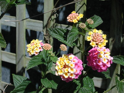Cluster Flower