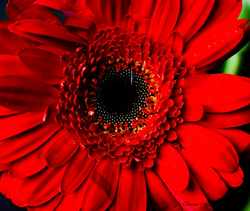 Gerbera at Home