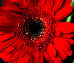 Gerbera at Home (Swami Stream) Tags: red india flower macro rebel gerbera gurgaon haryana xti masterphotos swamistream swamistreamcom