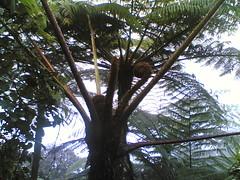 pokok kepala naga(tipu jek) (markmiez) Tags: florafauna