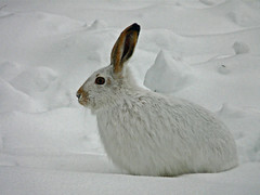My little visitor (annkelliott) Tags: winter white snow canada rabbit calgary nature animal fauna mammal lumix explore alberta wildanimal mygarden jackrabbit naturesfinest interestingness44 annkelliott impressedbeauty fz18 panasonicdmcfz18 vosplusbellesphotos p1420142fz18 explore2008december13