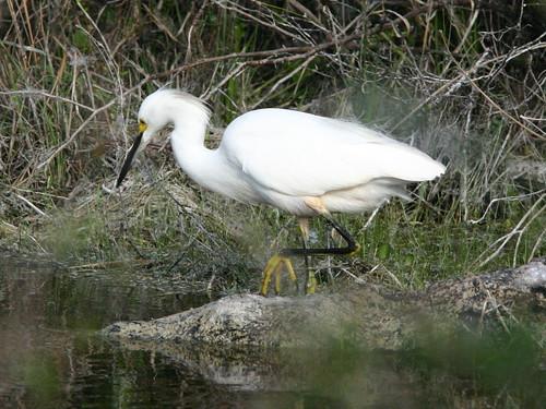 Snowy Egret 20081215