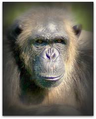 Gentle (patries71) Tags: chimp sony ape aap beeksebergen liberated chimpansee sonyalpha proefdier patries71 vosplusbellesphotos labchimp