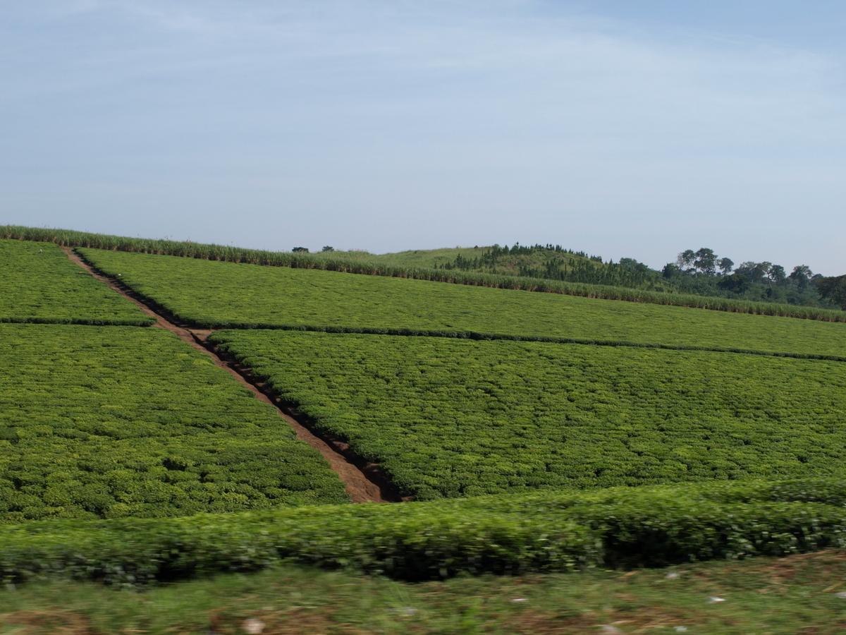 Fields of tea