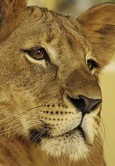Chibi (tropicaLiving - Jessy Eykendorp) Tags: wild portrait animal closeup fauna indonesia geotagged chibi lion wildanimal singa ef70300mmf4056isusm canoneos50d tropicaliving balisafarypark jessyce geo:lon=115157318 geo:lat=8817225 tropicalivingtropicalliving
