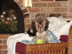 Maddie Sitting on Grannie's Shirt (Mark Gstohl) Tags: dog shirt maddie grannie