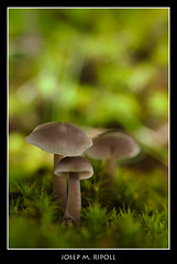 Mycena pura (JM Ripoll) Tags: barcelona santafe forest mushrooms spain bosque fungus funghi pilze wald svamp mycology pilz champignons setas fong bosc foresta cogumelos fungo bolets micologia mikologia onddo perretxikoak micología mycologie pilzkunde foraoise