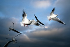 Seagulls (Dave G Kelly) Tags: ireland sky naturaleza seagulls bird nature birds animal animals port canon puerto tiere fly flying wings gaivotas harbour seagull natureza flash flight himmel natura aves cu ali uccelli volo ciel porto ave cielo alas 5d animales canon5d vol animaux vgel hafen mwe wicklow animais gaviotas gaviota oiseau mwen animali animale gabbiani gabbiano tier vogel mouette oiseaux strobe irlanda gaivota voar strobo voo vuelo asas ailes volando volare volar mouettes battenti voler battant estroboscpico stroboscopique davegkelly