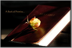 A Book of Promise... (honey 77) Tags: light flower nature rose blessings hope book god jesus lord christian yellowrose future inspirational promise scriptures holybible promises nikond40 inspiks|inspirationalpictures