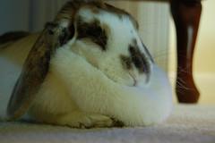 Bob and her dewlap (dropkick03) Tags: rabbit bunny dewlap