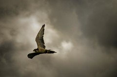 The Hunter (_ justintheframe_) Tags: flight falcon hunter birdofprey justintheframe