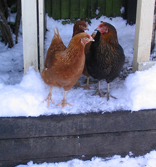 conference (littlecottonrabbits) Tags: snow chickens garden
